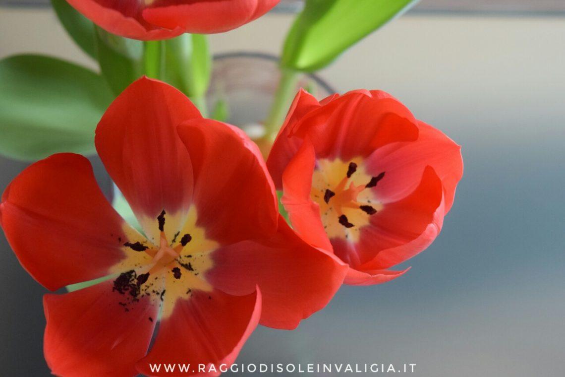 come coltivare i tulipani in acqua